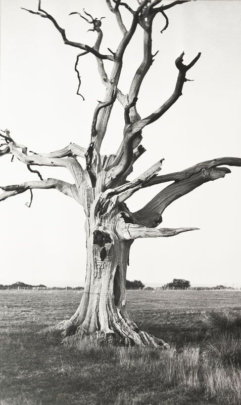 Árvores Milenares | Millennial Trees