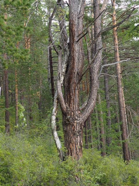 Лес возле озера Байкал