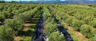 Rio de Contas/BA: Agricultores  realizam colheita da segunda safra de azeitonas