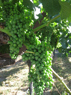Green grapes on the vine, MacMurray Ranch, Healdsburg, California