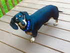 Duke, my dachshund