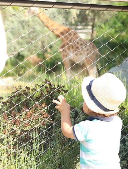 girafe du zoo de vincennes