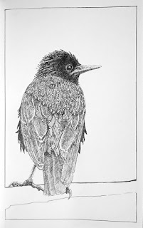 Starling, pen and ink