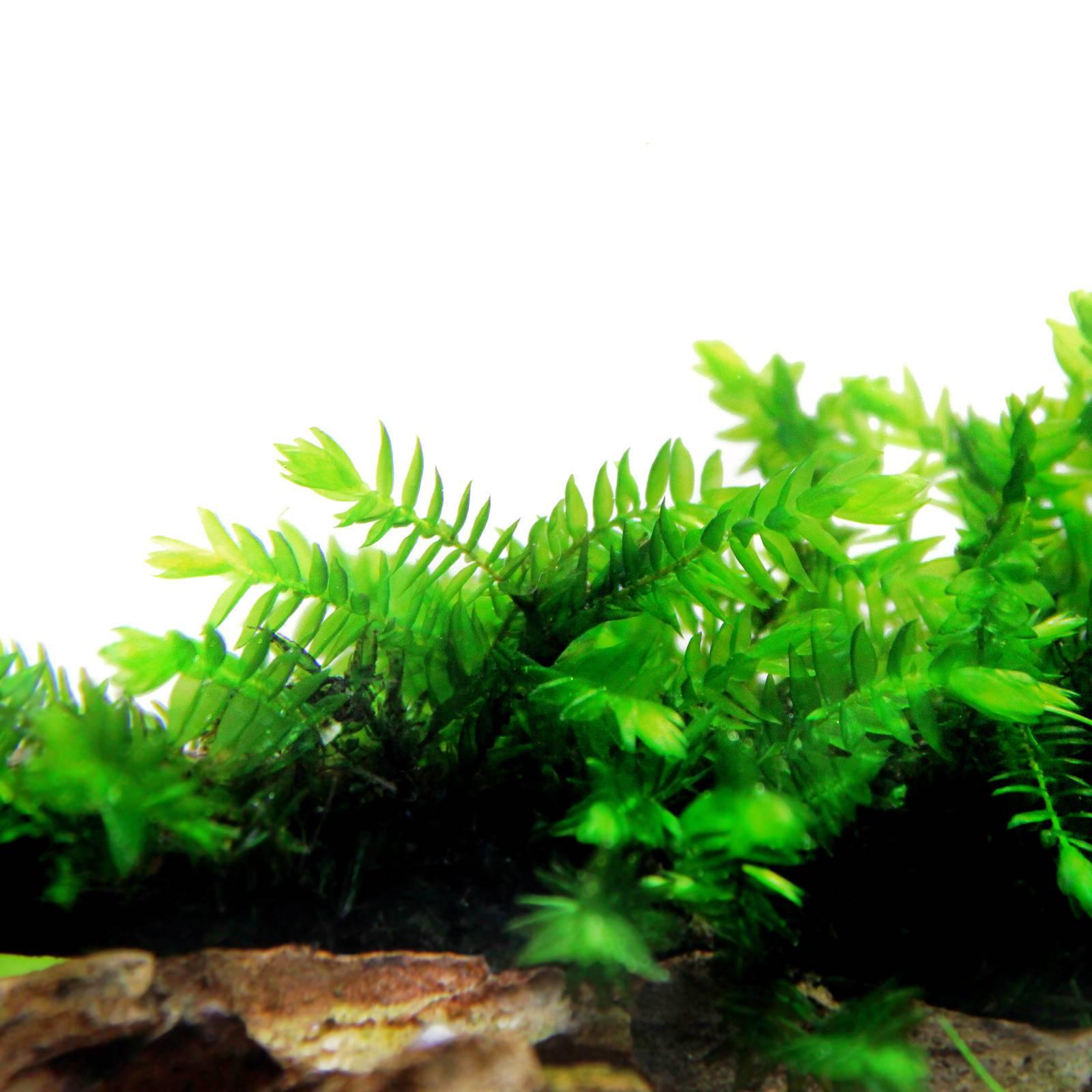 Liên hệ Vinh Aqua để sở hữu rêu thủy sinh Willow Moss