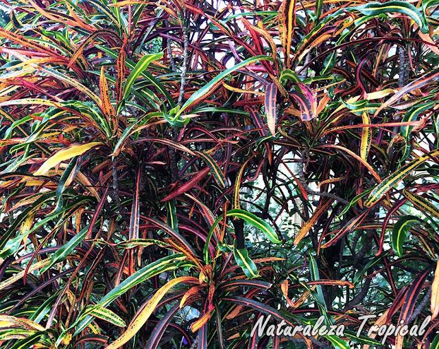 Variedad de croton con hojas alargadas y estrechas, género Codiaeum