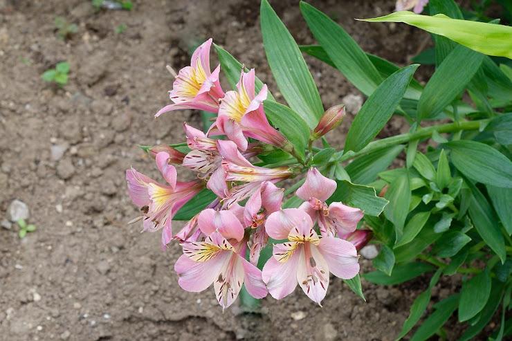 アストロメリアの群がる花