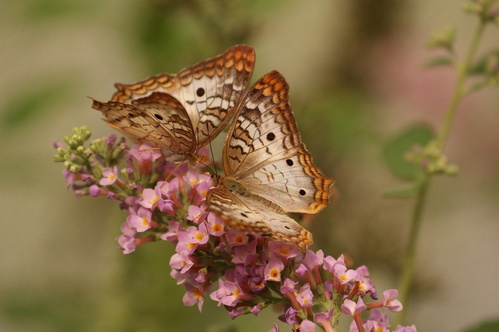 nature-couple-flower-insects-butterfly-pictures