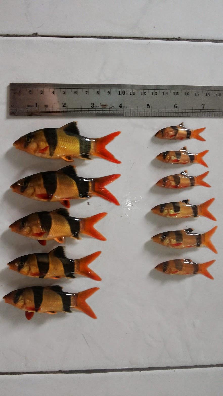 Cara Budidaya Ikan Botia Dunia Perikanan