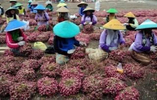 panen bawang merah Brebes