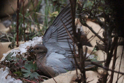 """This picture was taken on a cold winter day in a  NYC rooftop garden. During the winter seasons containers have been wrapped in bubble wrap topped with a layer of burlap for protection from cold temperatures. The focus of the image is on a Mourning dove. The creature is sitting atop the mulch that has been added to provide extra protection for the flora during winter. One of the wings is completely open and raised above the body. A fair amount of an array of green foliage is pushing their way through the mulch. This garden is the setting for my three volume book series, """"Words In Our Beak.""""  Mourning doves are featured in volume one. Info re these books is included in another post within this blog @ https://www.thelastleafgardener.com/2018/10/one-sheet-book-series-info.html"""