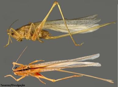 Wuyjugu pizai, nova espécie de esperança, amazônia, biologia, entomologia, insecta, insetos, animais, natureza, floresta amazônica, UFPA