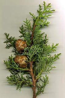 Servi ağacı nedir