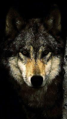 صور ذيب - ذئب ، اقوى صور فخامة ، خلفيات فخمة روعة