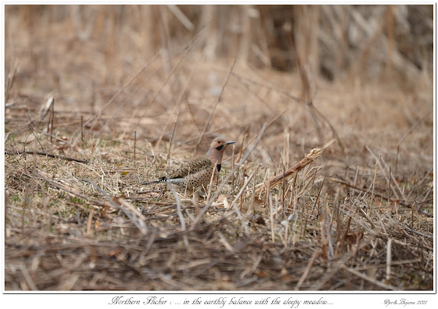 Northern Flicker: ... in the earthly balance with the sleepy meadow...