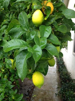 Rain Dripping from Lemon Leaves