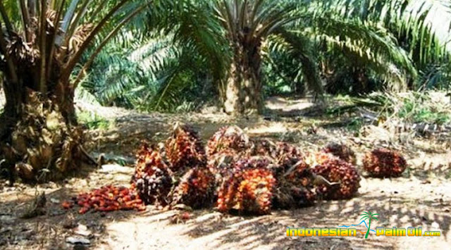 PTPN V Target Replanting Sawit Rakyat Hingga 17.000 Hektare