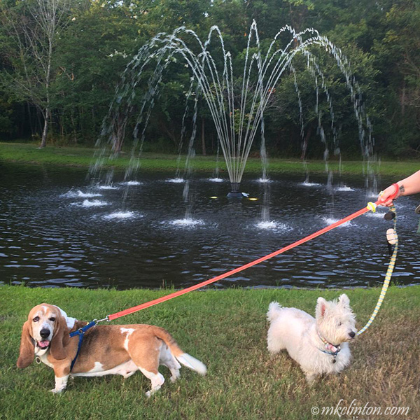Basset Hound and Westie in front of fountain