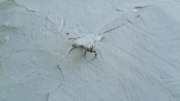 Laba-laba rumahan yang penyendiri