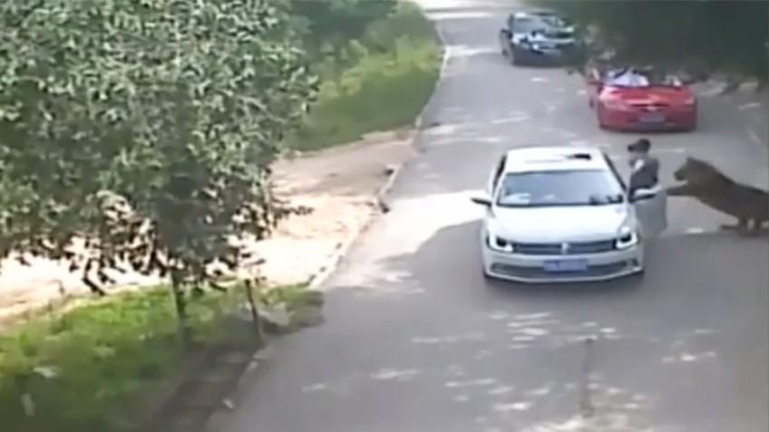 VÍDEO ESPANTOSO: Tigres atacan a familia en zoologico