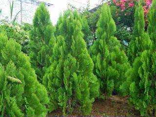 Jual Pohon Cemara Kipas - Aneka Macam Tanaman Cemara