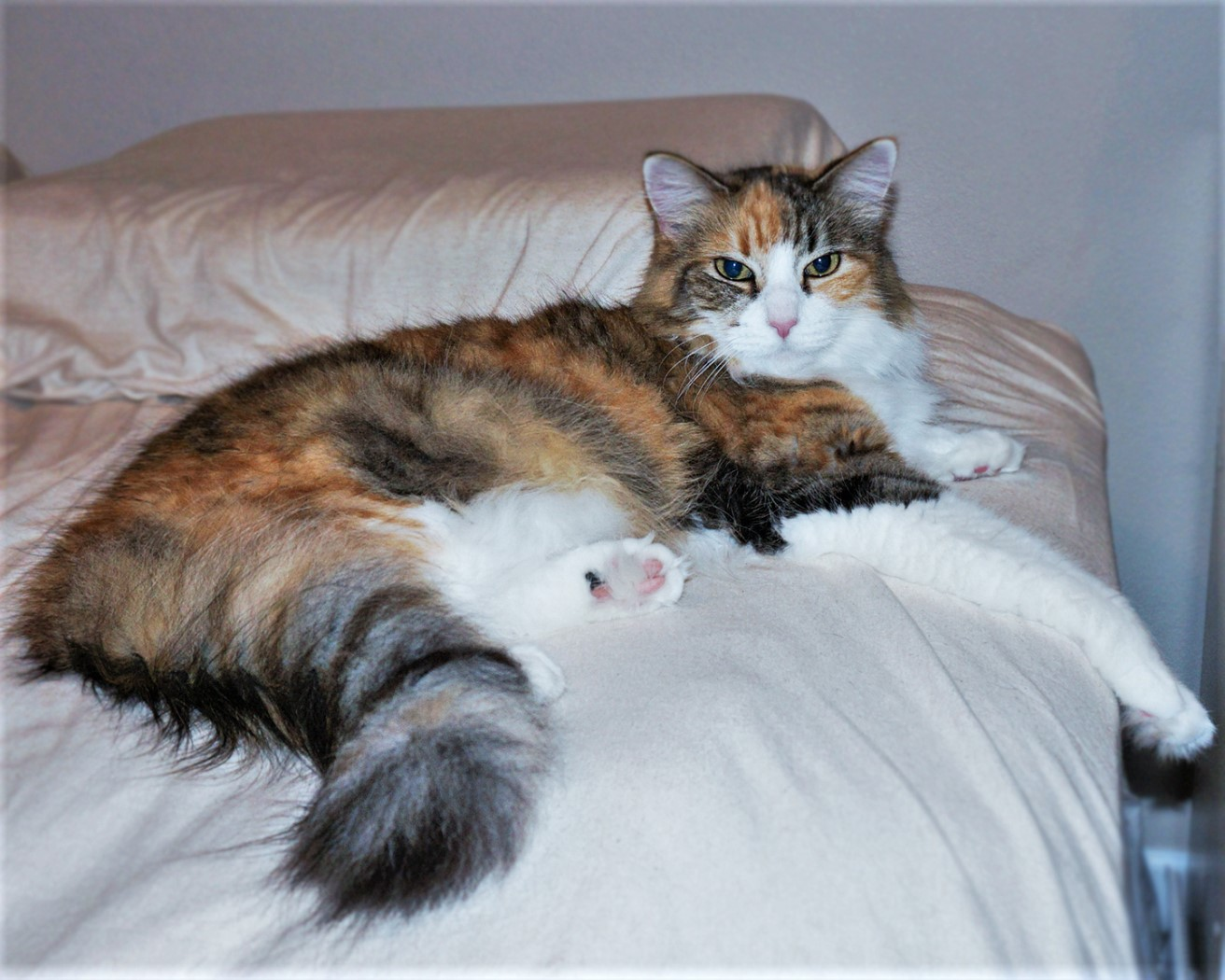 Calico Maine Coon Mix - April's Happy Place