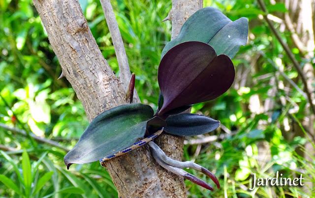 Replante das orquídeas nas árvores