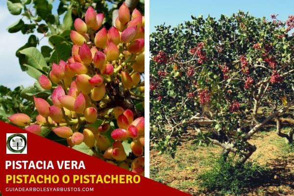 El pistachero o pistacho, Pistacia vera, es un árbol que puede llegar hasta los 25 m. de altura
