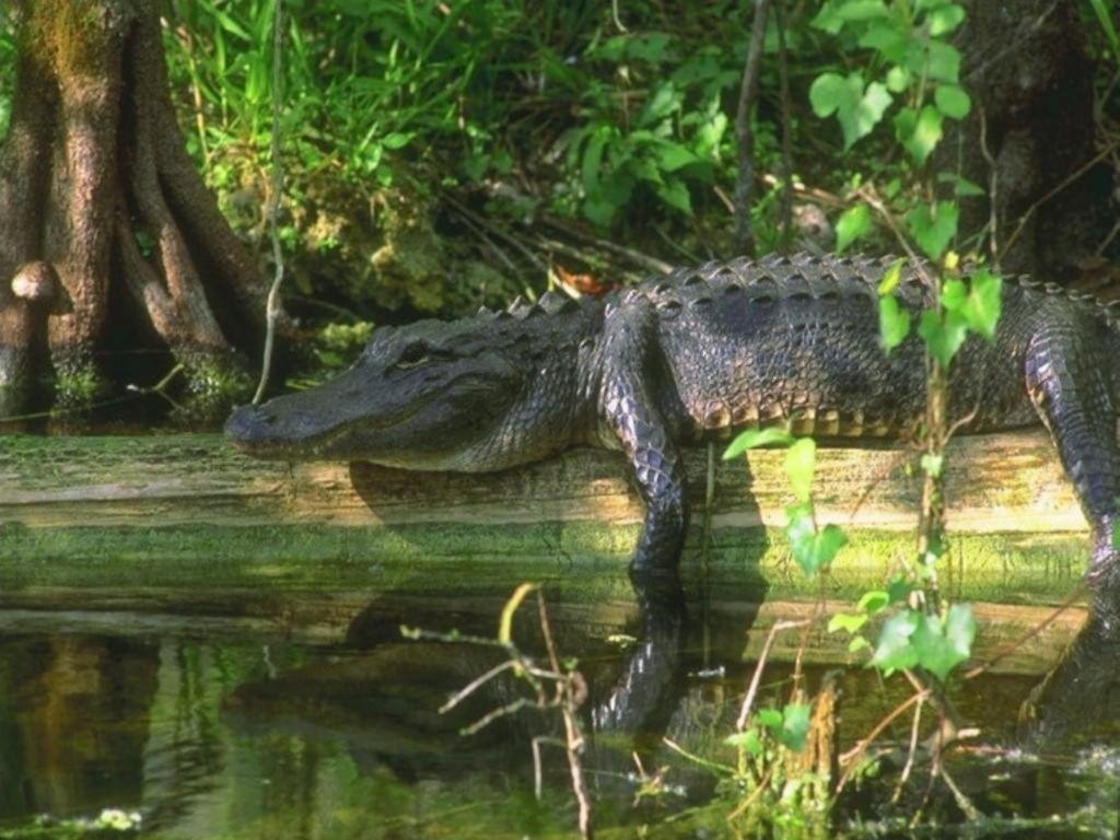 Alligator Wallpapers HD animal wallpapers