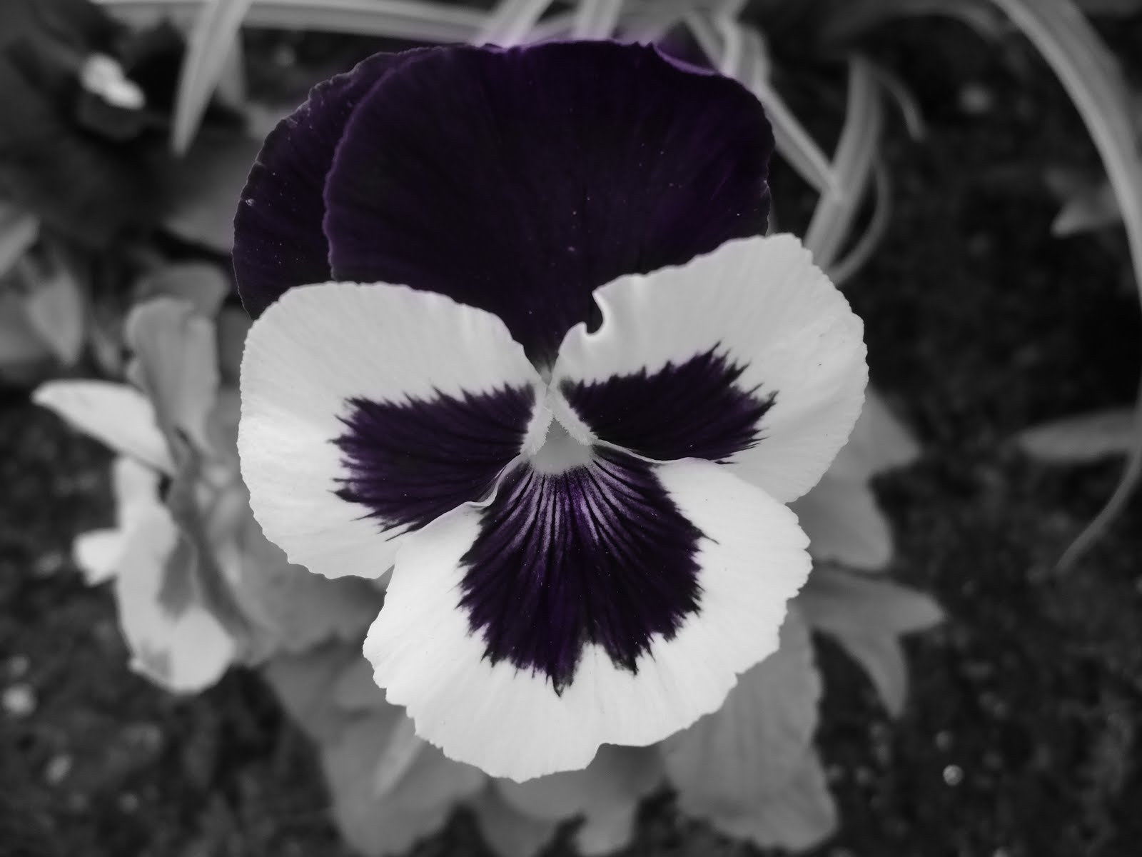 Black white and purple flower by haley