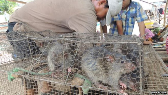 Masyarakat di berbagai negara ini gemar memakan tikus
