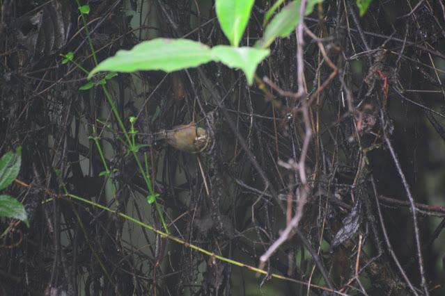 Schoeniparus castaneceps