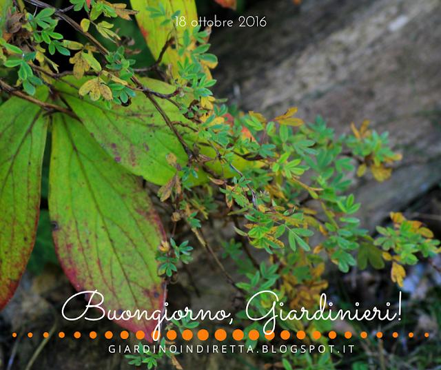 Potentilla fruticosa Abbotswood - l'agenda del giardino e del giardiniere - un giardino in diretta