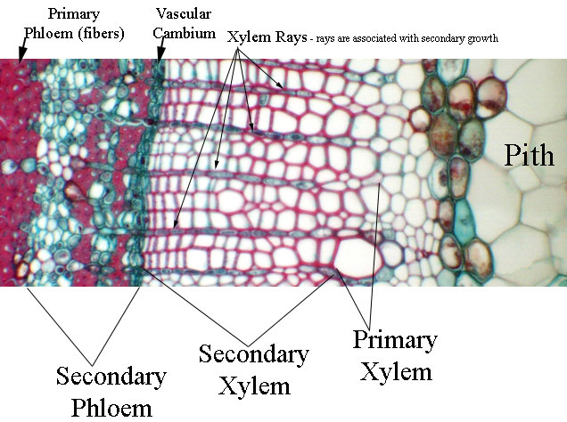 Primary xylem vs Secondary xylem