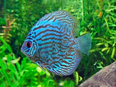Harga Ikan Discus Blue Turquoise