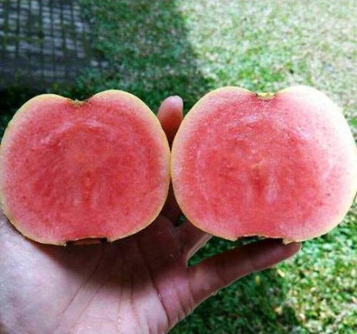 Bibit Tanaman Buah Jambu Merah Tanpa Biji Jawa Tengah