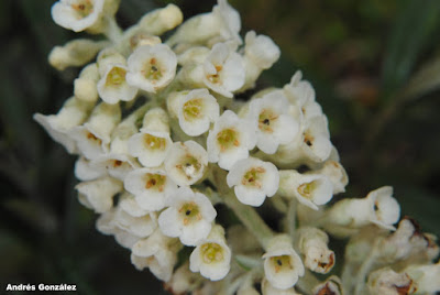 Buddleja thyrsoides