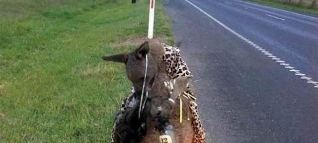 Φρικτό θέαμα στην Αυστραλία: Σκότωσαν καγκουρό και του έβαλαν να κρατά ελληνικό ούζο