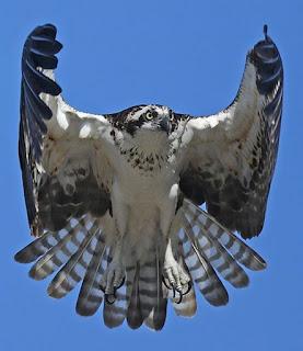 Foto. Águia-pescadora (Pandion haliaetus), ave de grande porte, de frente, em voo no céu azul sem nuvens.A plumagem é densa em preto e branco. A cabeça é pequena mesclada, olhos redondos amarelos com íris preta, bico preto, curto e bem curvo. As asas expandem-se em um abraço, formando uma capa predominantemente escura na parte externa e quase toda branca na parte interna. Próximo ao pescoço, pequenas mechas pretas formam um colar realçado por penas brancas que recobrem o peito, corpo e patas com garras compridas pretas.As 12 penas da cauda, listradas em preto e branco, abrem-se translúcidas em leque invertido. 