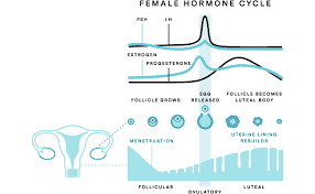 Menstrual cycle phases, hormones, chart, calculator | pharmaas