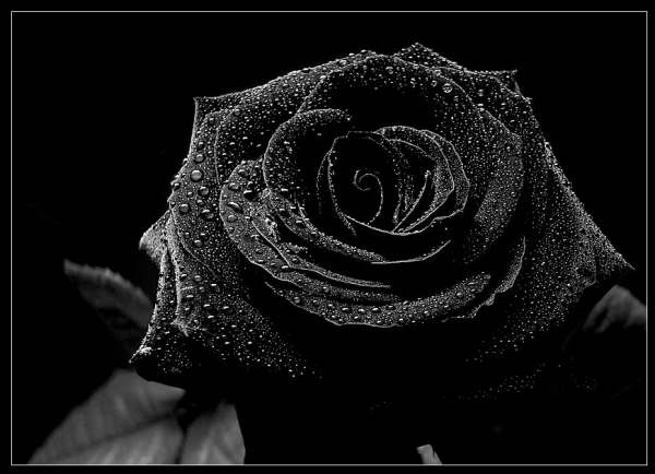 COOL IMAGES: Black Rose Wallpaper