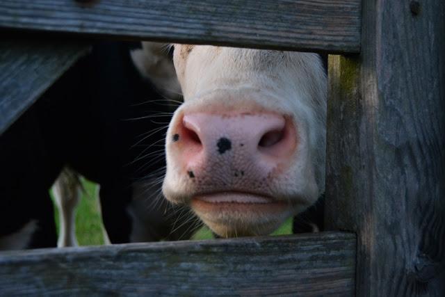 cow, wildlife, grass, farm, settle, mental health, travel, yorkshire, skipton, walking, hiking