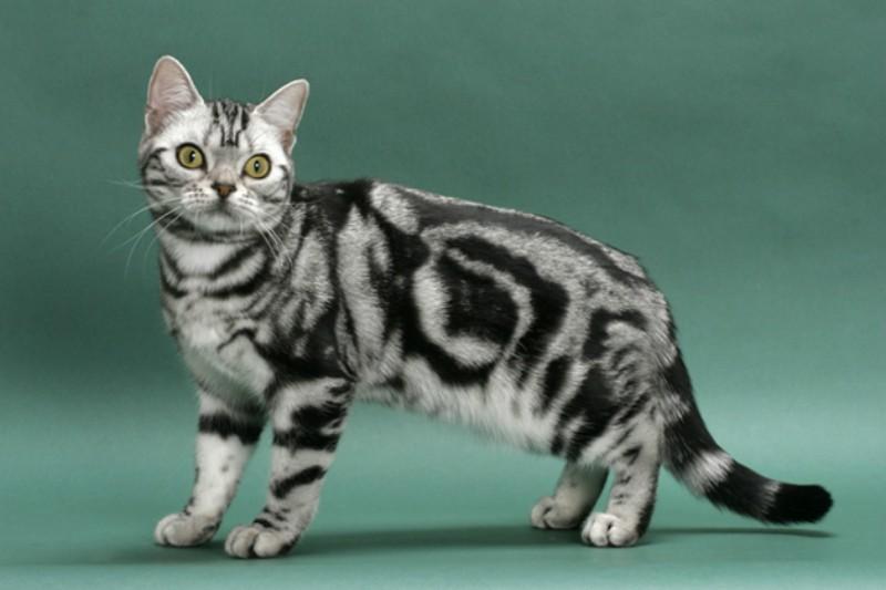 Γάτα Aμερικάνικη κοντότριχη