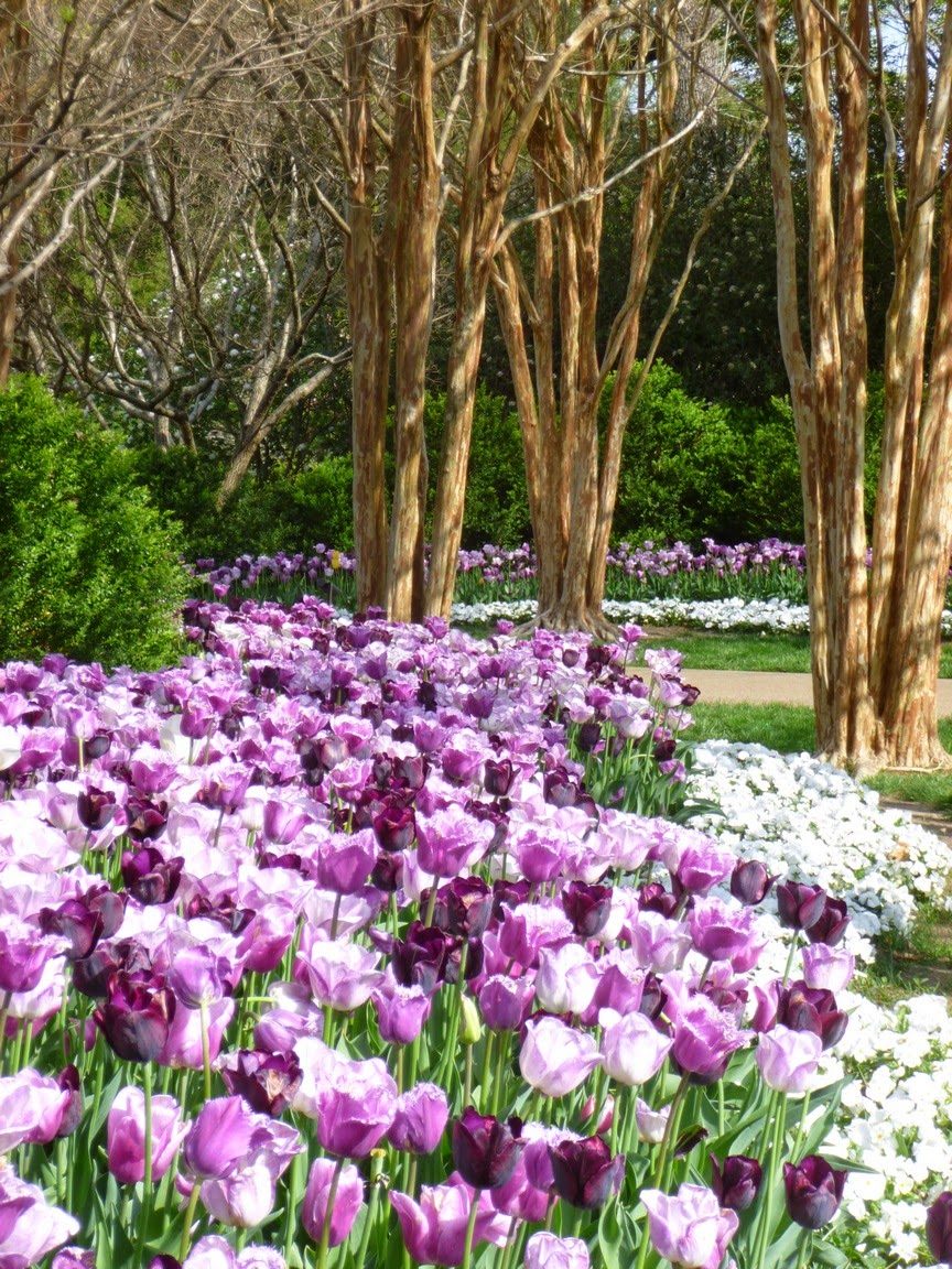 River of white and purple tulips flows beneath still bare mature crape myrtle trees