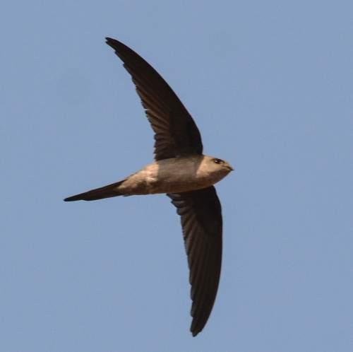 Indian birds - Image of Asian palm-swift - Cypsiurus balasiensis