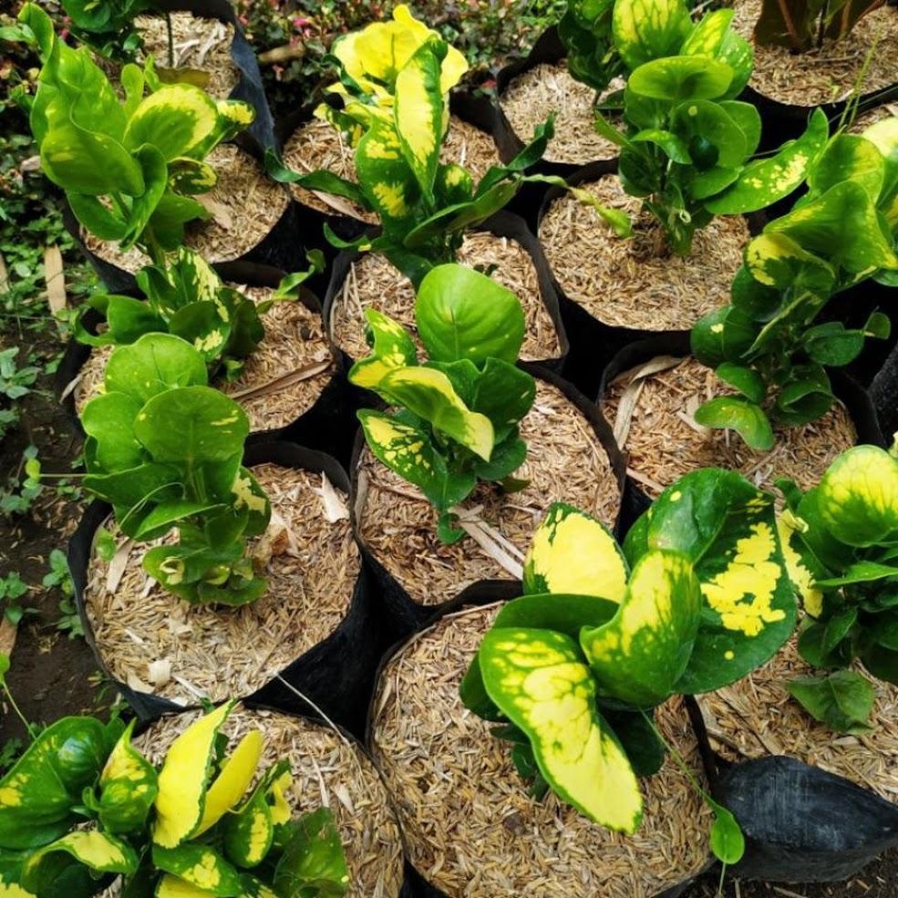 Apel Puring Kuning Puring Telur Tanaman Hias Bali