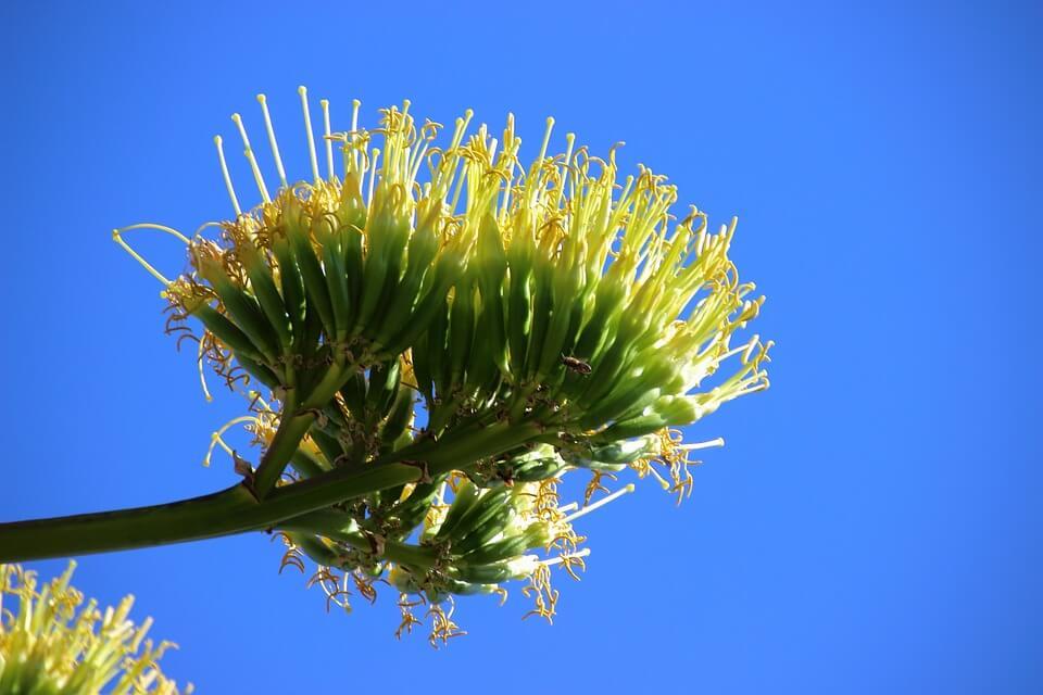 sizal kwiatostan