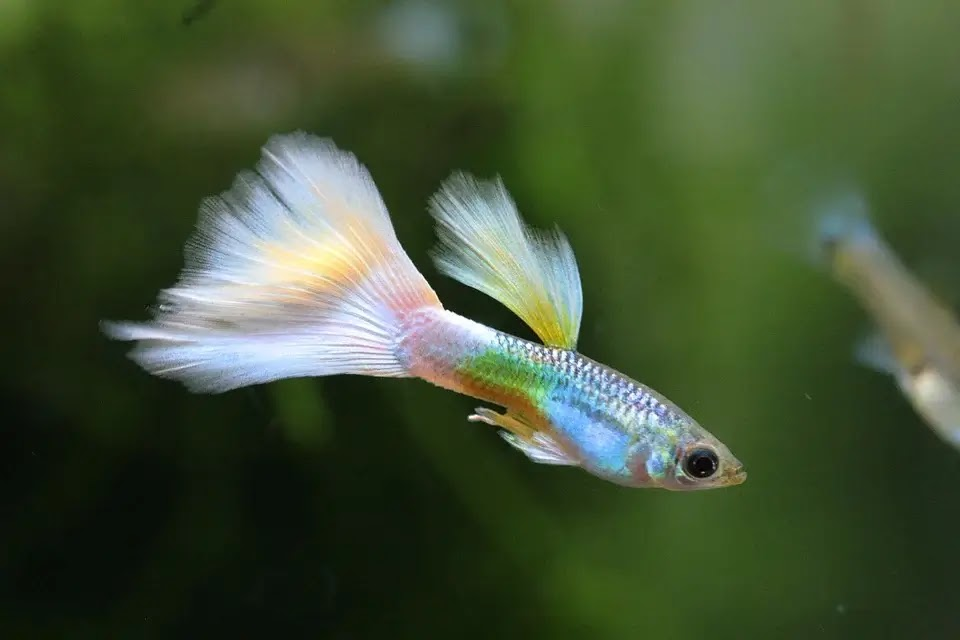 Penyakit Ikan Guppy