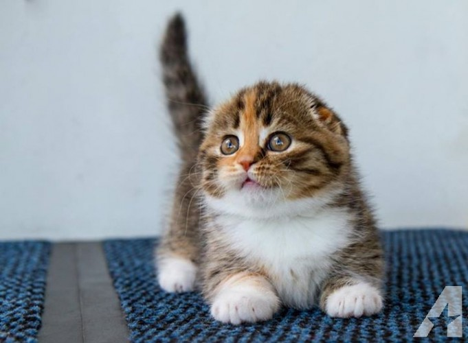Your Lovely Pets Scottish Fold Kittens For Sale In Northern California