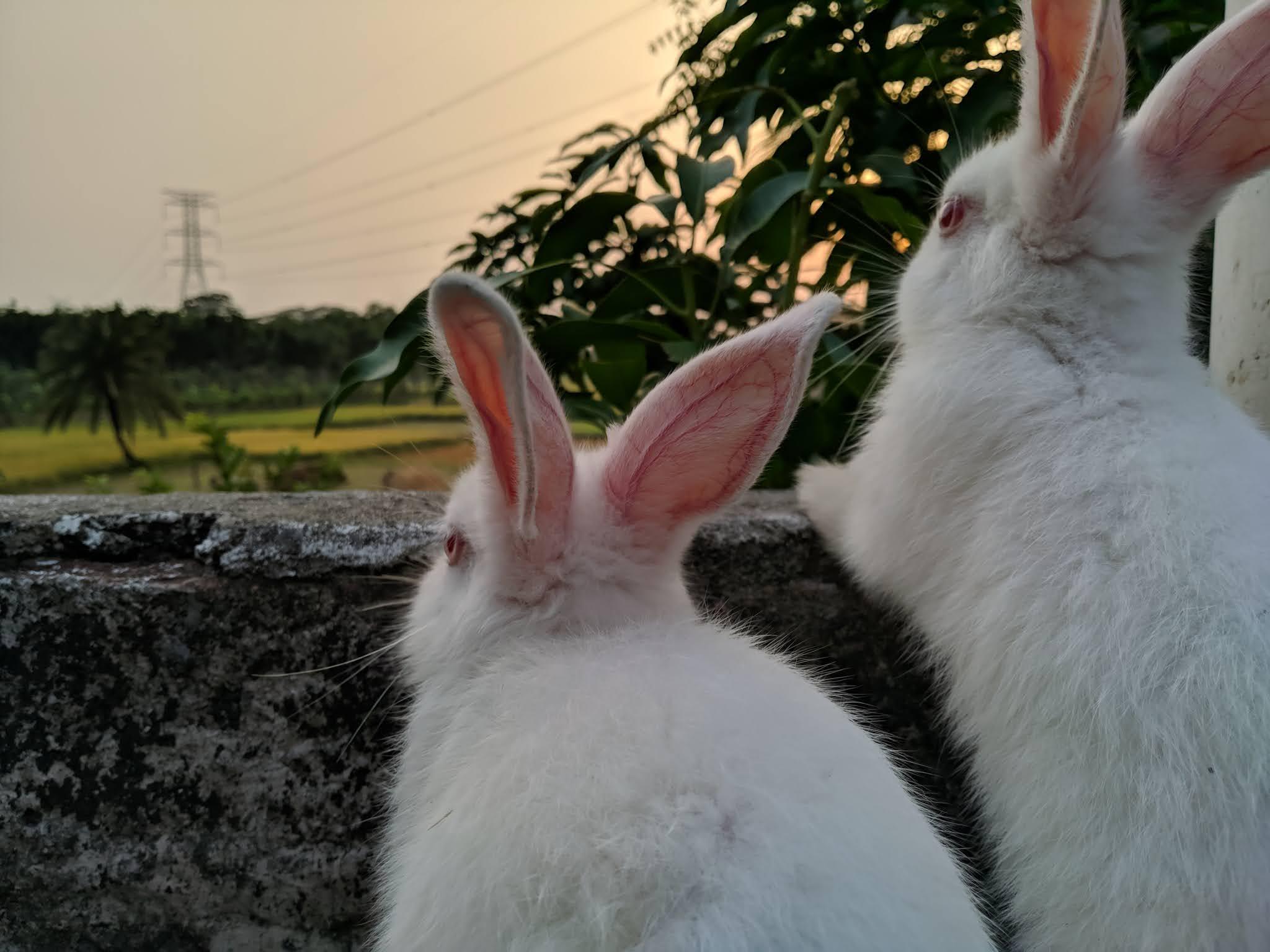 ciekawostki o krolikach, dlaczego króliki zjadają własne bobki?