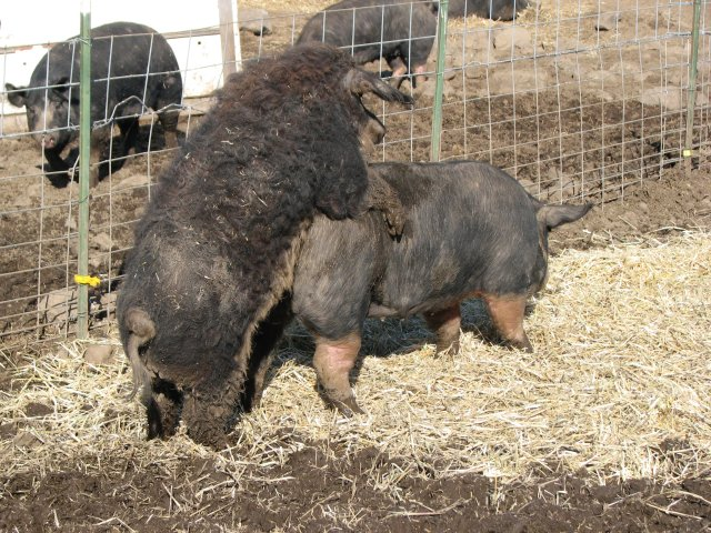 Opinion you boar sperm for sale that would